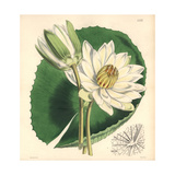Tooth-leaved Lotus, Nymphaea Dentata Giclee Print by Walter Hood Fitch