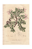 Red Bearberry, Arctostaphylos Uva-ursi Giclee Print by E. Weddell