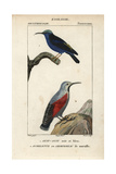 Honeycreeper And Wallcreeper From Sainte-Croix's Dictionary of Natural Science: Ornithology Giclee Print