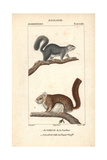 Gray Squirrel And Flying Squirrel From Frederic Cuvier's Dictionary of Natural Science: Mammals Giclee Print
