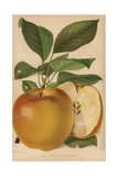 Apple Variety, Yellow Bellefleur, Malus Domestica Giclee Print by Walter Hood Fitch