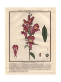 Crimson And Yellow Snapdragon, Antirrhinum Majus Giclee Print by Pierre Bulliard