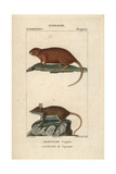 Coypu And Cayenne Spiny Rat From Frederic Cuvier's Dictionary of Natural Science: Mammals Giclee Print