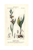 Bee Orchid, Ophrys Apifera Giclee Print by Pierre J-F Turpin