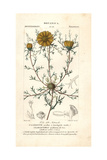 Palm Springs Daisy, Cladanthus Arabicus Giclee Print by Pierre J-F Turpin