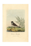 Reed Bunting, Emberiza Schoeniclus Impression giclée par George Graves