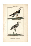 Turnstone And Stone-curlew From Sainte-Croix's Dictionary of Natural Science: Ornithology Impression giclée