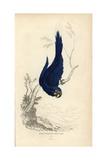 Hyacinth Macaw Giclee Print