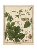 Hops, Humulus Lupulus Reproduction procédé giclée par Friedrich Gottlob Hayne