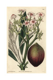 Poison Tanghin Or Ordeal Tree, Tanghinia Venenifera Giclee Print by Lady Frances Cole
