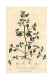 "Stinking Goosefoot, Chenopodium Vulvaria, From Pierre Bulliard's ""Flora Parisiensis,"" 1776, Paris Giclee Print by G. Reid"