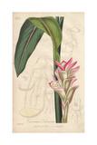 Zedoary, Curcuma Zedoaria Giclee Print by E. Weddell