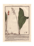 Lily of the Valley, Convallaria Majalis, From William Baxter's British Phaenogamous Botany, 1834 Giclée-Druck von Pierre Bulliard