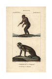 Chimpanzee And Moustached Guenon From Frederic Cuvier's Dictionary of Natural Science: Mammals Giclee Print