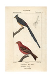 Mousebird And Pine Grosbeak From Sainte-Croix's Dictionary of Natural Science: Ornithology Impression giclée