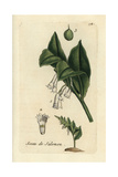 "Solomon's Seal, Polygonatum Commutatum, From Pierre Bulliard's ""Flora Parisiensis,"" 1776, Paris Giclee Print by Pierre Bulliard"