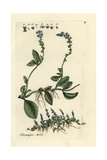 "Speedwell, Veronica Officinalis, From Pierre Bulliard's ""Flora Parisiensis,"" 1776, Paris Giclee Print by Pierre Bulliard"