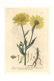 Corn Marigold, Chrysanthemum Segetum, From William Baxter's British Phaenogamous Botany, 1838 Giclee Print by Charles Mathews