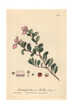 Red Bear-berry, Arctostaphylos Uva Ursi, From William Baxter's British Phaenogamous Botany, 1843 Giclee Print by Charles Mathews