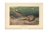 The Atlantic Horseshoe Crab (Limulus Polyphemus) Is a Marine Chelicerate Arthropod Giclee Print by Heinrich Harder