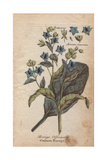 Borage, Borago Officinalis, From William Baxter's British Phaenogamous Botany, 1834 Giclee Print by Nicholas Culpeper