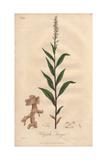 Seneca Snakeroot, Polygala Senega Giclee Print by E. Weddell
