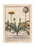 Lesser Hawkbit, Leontodon Taraxacoides Giclee Print by Pierre Bulliard