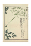 Fronds of Leaves And a Floret of Small White Flowers of Angelica Polymorpha. Jokou Giclee Print