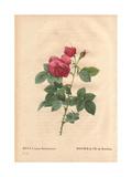 Bourbon Rose Giclee Print