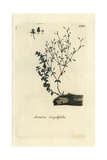 "Thyme-leaved Sandwort, Arenaria Serpyllifolia, From Bulliard's ""Flora Parisiensis,"" 1776, Paris Giclee Print by Pierre Bulliard"