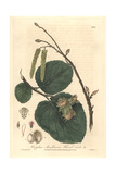Hazelnut Tree, Corylus Avellana, From William Baxter's British Phaenogamous Botany, Oxford, 1839 Giclee Print by Isaac Russell