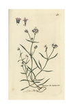 "Dyer's Woodruff, Asperula Tinctoria, From Pierre Bulliard's ""Flora Parisiensis,"" 1776, Paris Giclee Print by Pierre Bulliard"