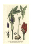 Cuckow-pint, Arum Maculatum, From William Baxter's British Phaenogamous Botany, Oxford, 1838 Giclee Print by Isaac Russell