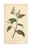 Cascarilla Tree, Croton Eleuteria Giclee Print by G. Reid