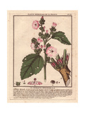 Common Marshmallow, Althaea Officinalis Giclee Print by Pierre Bulliard