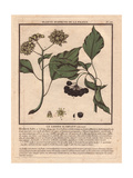Common Ivy with Berries, Hedera Helix Giclee Print by Pierre Bulliard