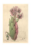 Houseleek, Sempervivum Tectorum, From William Baxter's British Phaenogamous Botany, Oxford, 1840 Giclee Print by Charles Mathews