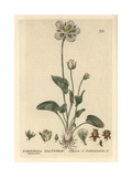 Grass of Parnassus, Parnassia Palustris, From William Baxter's British Phaenogamous Botany, 1834 Giclee Print by Charles Mathews