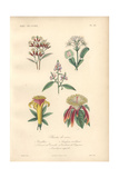 Clove Bush, Venus Flytrap, Pink Sainfoin, And Scarlet And Yellow Carolinea Flowers Giclee Print by Edouard Maubert
