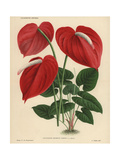 Scarlet Flamingo Flower Or Anthurium Lily Giclee Print