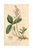 Bog Bean, Menyanthes Trifoliata Giclee Print by E. Weddell