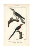 Channel-billed Cuckoo And Malkoha From Sainte-Croix's Dictionary of Natural Science: Ornithology Reproduction procédé giclée
