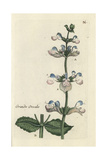 "Clary Sage, Salvia Sclarea, From Pierre Bulliard's ""Flora Parisiensis,"" 1776, Paris Giclee Print by Pierre Bulliard"