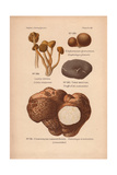 Truffle Varieties, Tuber Aestivum, And Jelly Babies, Leotia Lubrica Giclee Print by Leon Dufour