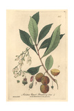 Strawberry Tree, Arbutus Ulnedo, From William Baxter's British Phaenogamous Botany, Oxford, 1843 Giclee Print by Charles Mathews