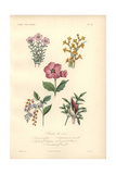 Pink Diosma, Yellow Cactus, Pink Dipladenia, Golden Dew Drop And Purple Dragon Lily Giclee Print by Edouard Maubert