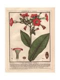 Common Tobacco, Nicotiana Tabacum Reproduction procédé giclée par Pierre Bulliard