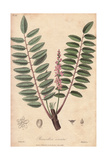 Indian Frankincense, Boswellia Serrata Giclee Print by G. Reid