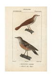 Nightingale And Accentor From Sainte-Croix's Dictionary of Natural Science: Ornithology Giclee Print