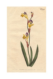Ringent Ixia with Yellow, Purple And Brown Flowers, Ixia Bicolor Giclee Print by Sydenham Edwards